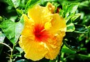 Interesting Facts About the Yellow Hibiscus