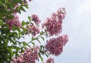 When Does Crepe Myrtle Leaf & Bloom in Zone 9?