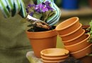 Potting Primrose Plants