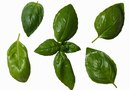 What Causes Droopy Leaves in Basil?
