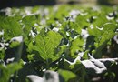 Are Collard Greens OK for Low Thyroid?