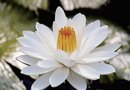 How Long Does it Take for a Water Lilly to Reach Maturity?
