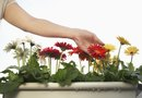 How to Prune a Gerbera