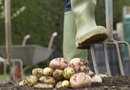 How to Grow Potatoes From Peelings