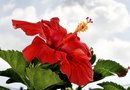 Can You Store Hibiscus in a Dormant State Over the Winter?
