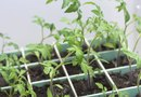 Must I Soak Tomato Seeds Before I Germinate Them?