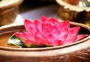 Growing a Water Lotus in a Bowl