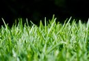 When to Cut Newly Sodded St. Augustine Grass