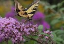 Can You Cut Back Butterfly Bushes in April with No Sprouts?