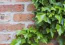 Can You Kill the Roots of Ivy by Smothering Them With Plastic?