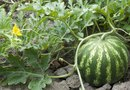 Why Do My Watermelons Turn Black and Fall Off When They Get  to About 1.5 Inches?