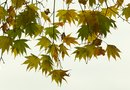The Growth Rate for Japanese Cutleaf Maples
