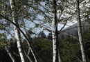 How to Prune Birch Trees and Time the Pruning