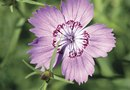 Will Dianthus Bloom All Summer?