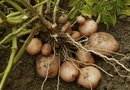 """How to Grow Shallots, Potatoes and Onions in Pots"""
