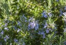 How to Take Care of Rosemary Plants