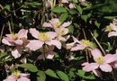 How to Divide Sweet Autumn Glory Clematis