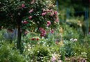 Is Composted Manure Good for Roses?