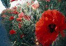How to Transplant a Perennial Poppy