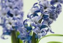 Can Hyacinth Be Overwintered in Pots in the House?