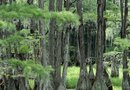 How Long to Grow a Seedling Cypress Tree to Maturity?