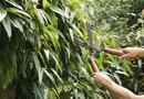 Fastest-Growing Trees for Windbreaks