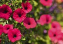 How to Cut Back My Petunias to Make Them Bloom More