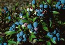 Fungicide for Blueberry Plants