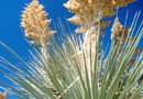How to Get a Yucca Plant to Bloom