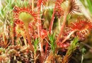 How to Repot a Sundew