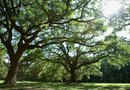 When Do Oak Trees Bloom?