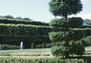 How to Prune Juniper Topiary