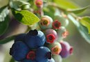 Blueberry Bushes to Cover a Chain Link Fence