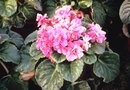 How to Restore an Overwatered African Violet