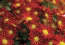 What Is the Average Height & Width of Garden Mums?