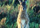 Solutions to Keeping Cottontail and Jack Rabbits Away From Lawn Grass