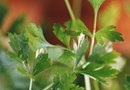 How to Grow Parsley in a Cup