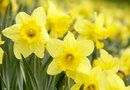 When to Plant Quail Daffodils
