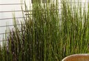 How to Landscape With Horsetail Rushes