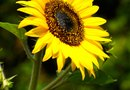 How to Save Sunflower Seeds to Plant the Following Spring