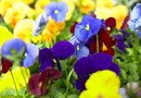 How to Propagate Pansies