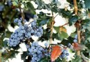 Will Spectracide Brush Killer Kill Oregon Grape?