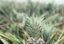 How Far Apart Should Pineapples Be Planted?