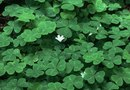 How to Care for an Outside Shamrock Plant