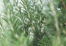 How to Cut a Rosemary Bush Stem to Grow a New Bush