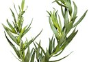 How to Propagate Tarragon