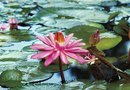 How to Take Care of Hardy Water Lilies