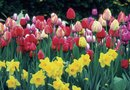 How to Mix Tulips With Daffodils