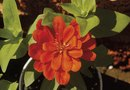 How to Germinate Zinnias Indoors
