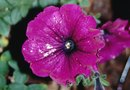 What Causes Holes in Petunia Blossoms?